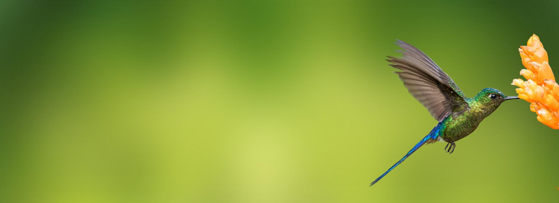 kolibri an orangener blüte