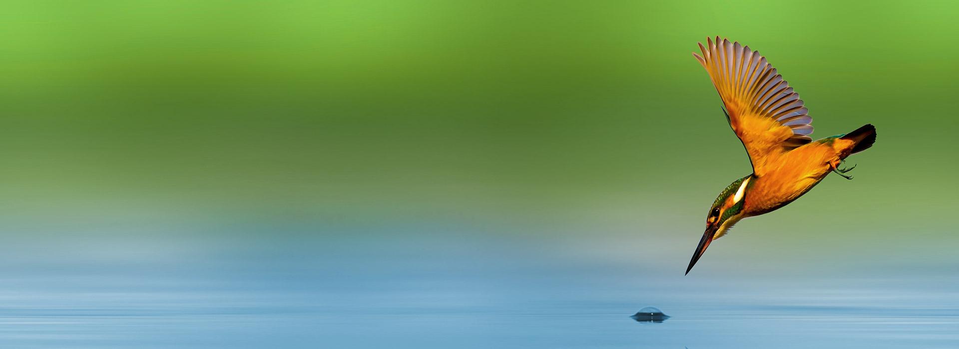 vogel fliegt auf wasser zu